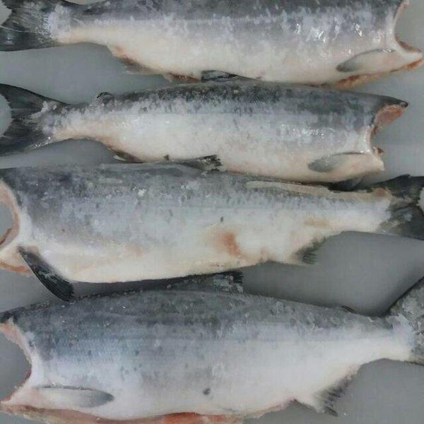 jual ikan salmon jogja